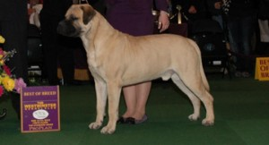 Duke Buckley SR wins Best in Breed at Westminster